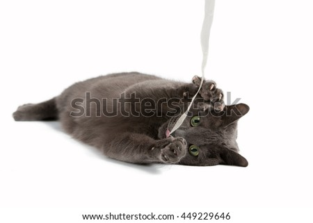 Gray cat with green eyes playing with ribbon , Russian blue cat - stock photo