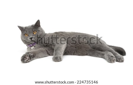 gray cat with purple collar isolated on white background. horizontal photo. - stock photo