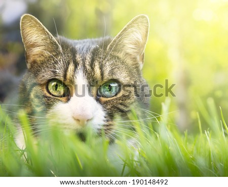 Gray cat with white markings, pink nose and colored eyes in thick grass garden - stock photo