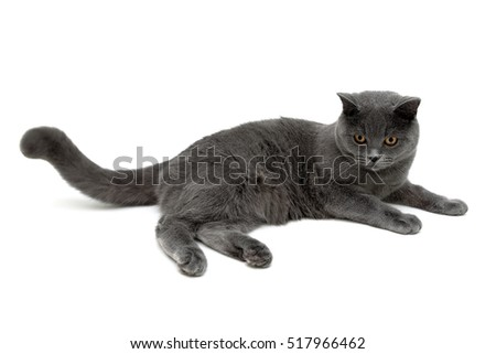 gray cat with yellow eyes on a white background. horizontal photo.
