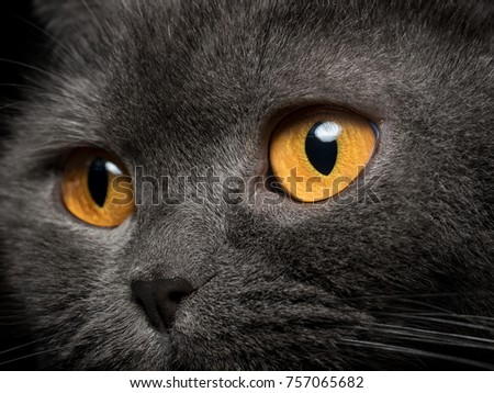 Gray cat yellow eyes close up. Looking outside