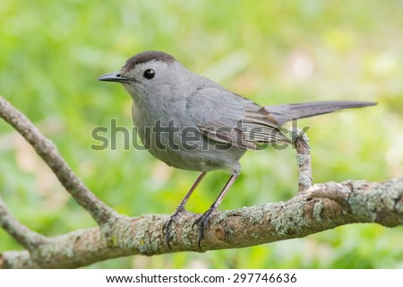 Gray catbird perched on a lichen covered tree branch. - stock photo