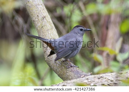 Gray catbird songbird perched on a tree branch in a green forest with tail raised