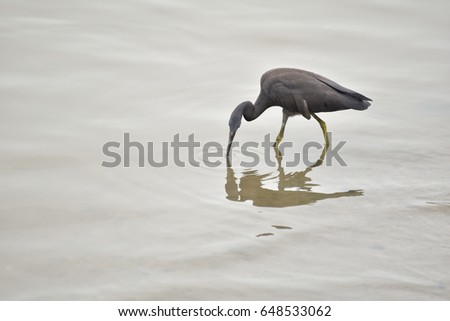 Gray crane bird eating fish