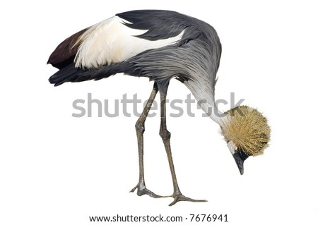 Gray Crowned or Crested Crane scratching - stock photo