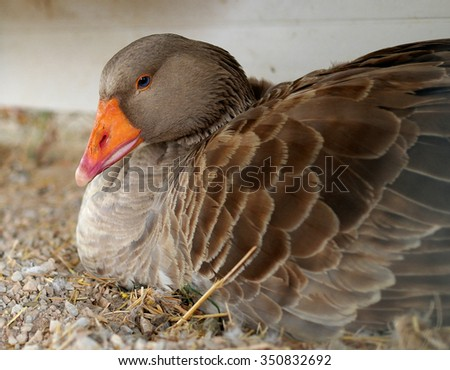 gray goose with blue eyes and an orange beak - stock photo
