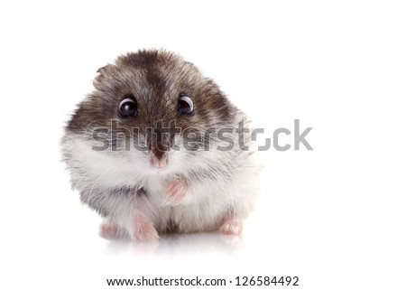 Gray hamster on a white background