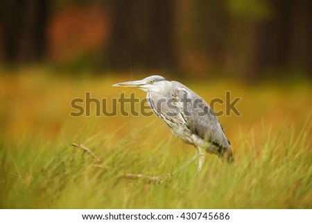 Gray heron hunts in the high reeds frogs and small fish.  Heron waiting for his catch - stock photo