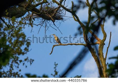 gray heron in a tree - stock photo