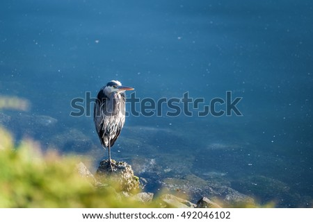 gray heron standing on rocks  in the beach of  Lighthouse Marine Park in Point Roberts with scenic view of ocean in background, Washington state, USA