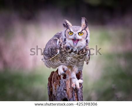Gray Horned Owl - stock photo