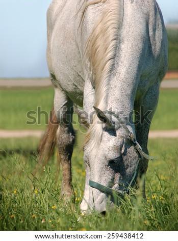Gray horse graze on sun light - stock photo