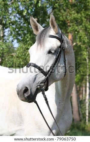 Gray horse portrait with black bridle