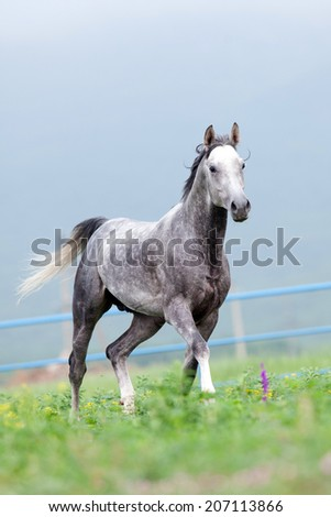Gray horse runs in the meadow - stock photo