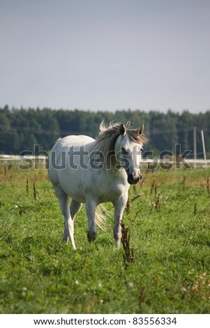 Gray horse walking at the field