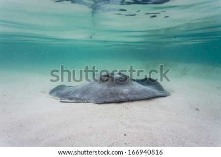 Gray, juvenile southern sting ray propels itself along sea bed on barrier reef in Belize - stock photo