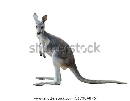 gray kangaroo isolated on white background - stock photo