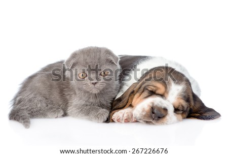 Gray kitten and sleeping basset hound puppy lying together. isolated on white background