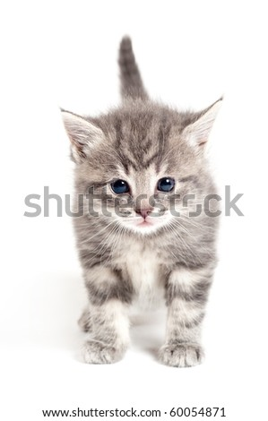 gray kitten in studio