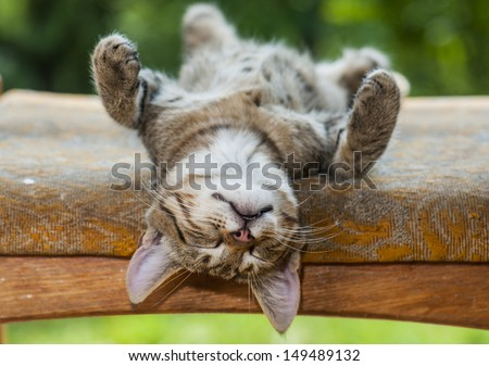 gray kitten is resting in a bizarre posture - stock photo