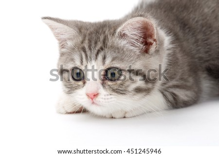 Gray kitten lies on a white background and looking to the side. Portrait of the Scottish cat.