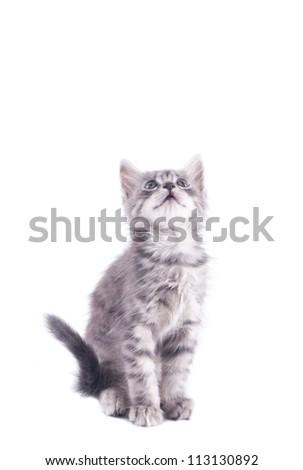 gray kitten on a white background - stock photo