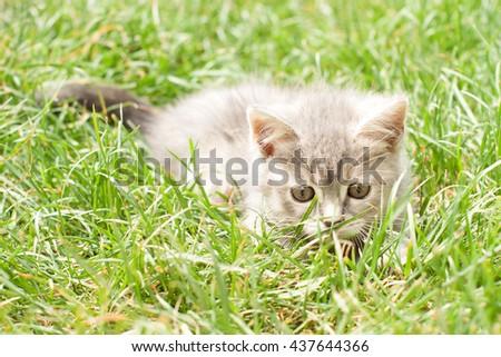 gray kitten on the dried grass - stock photo