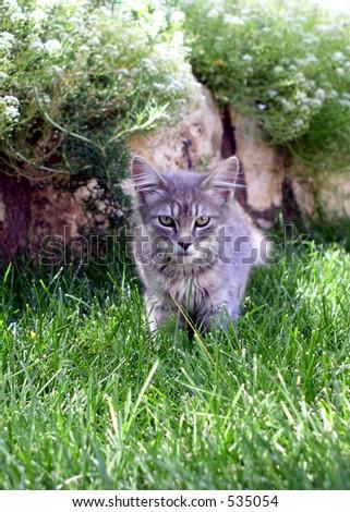 gray kitten on the prowl - stock photo