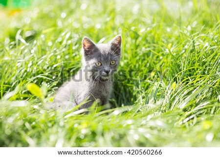 gray kitten playing in the grass - stock photo