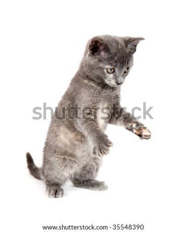 gray kitten pouncing on a white background - stock photo