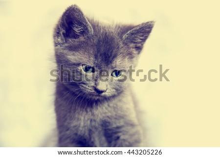 Gray Kitten sitting. Close up of cute kitten, Russian blue cat  - stock photo