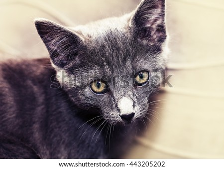 Gray Kitten sitting. Close up of cute kitten, Russian blue cat on a wooden table in the sunshine, nature background. - stock photo