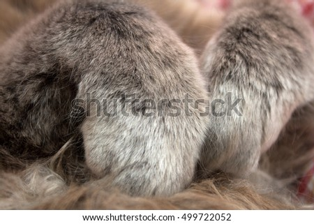 Gray kitten sleeping sweetly on his back, paws folded on the chest - on a red checkered background