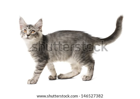 gray kitten walks against white background - stock photo