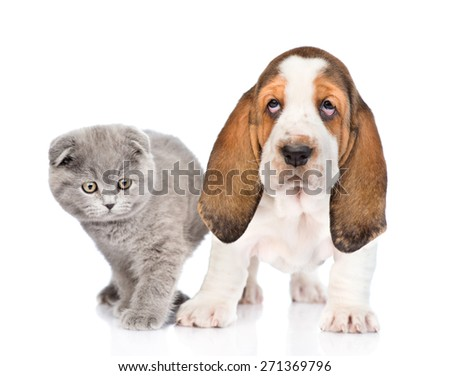 Gray kitten with basset hound puppy. isolated on white background