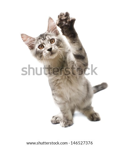 gray kitten with paw raised on a white background - stock photo