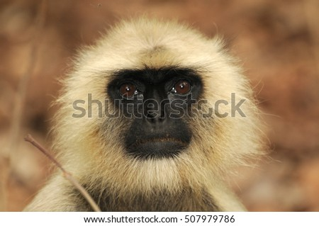 Gray langur in the forest