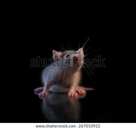 gray little rat - stock photo