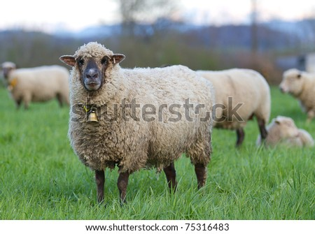 gray long haired sheep with copper bell in herd on pasture - stock photo