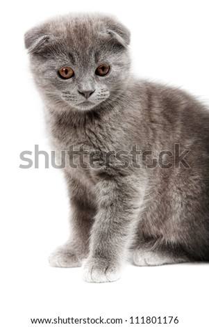 gray lop-eared kitten isolated on white background