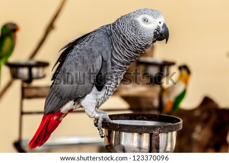 Gray macaw with red tail on food bowl - stock photo
