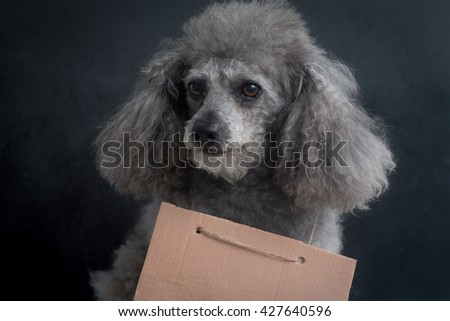 gray miniature poodle with blank cardboard around his neck on a black background - stock photo