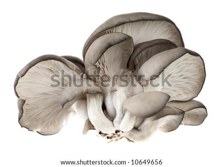 Gray mushroom isolated on white background - stock photo