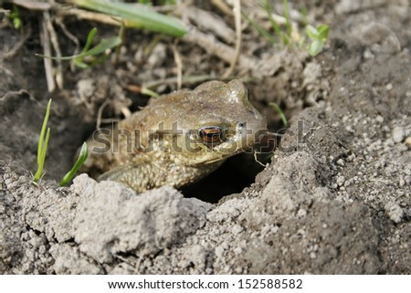 Gray or ordinary toad (Bufo bufo) in the hole - stock photo