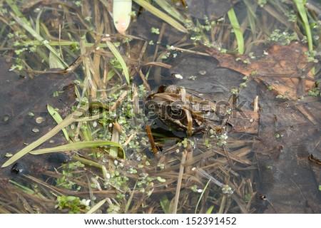 Gray or ordinary toad (Bufo bufo) in the lake - stock photo