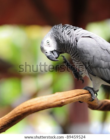Gray parrot - stock photo