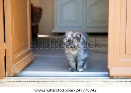 Gray Persian cat at doorway in summer day - stock photo