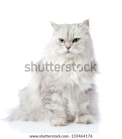 gray persian cat looking away. isolated on white background - stock photo