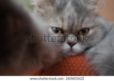 gray Persian cat take a Selfie - stock photo