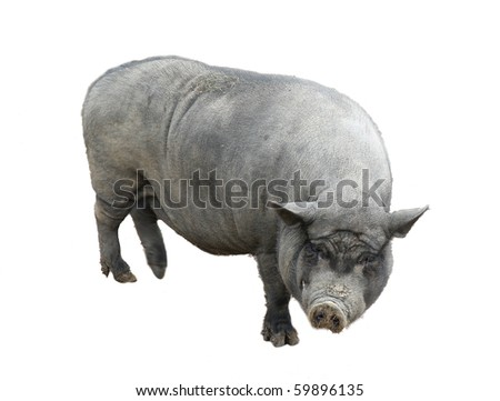 Gray pig isolated on white
